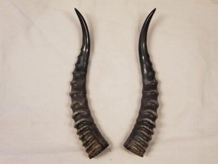 Blesbok Horns Pair